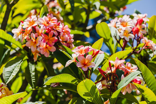 pink frangipani or plumeria tree shot outdoor under strong sunshine