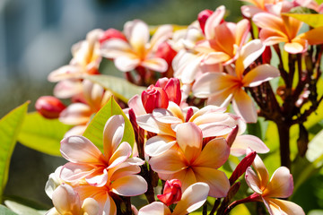 Spoed Fotobehang Frangipani tropical pink plumeria or frangipani tree shot outdoor under strong sunshine