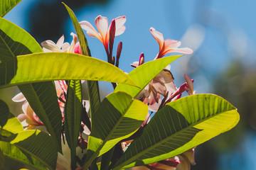 Fotorolgordijn Frangipani tropical pink plumeria or frangipani tree shot outdoor under strong sunshine