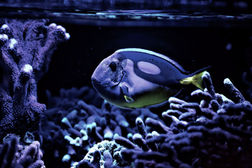 Closeup of an aquarium fish in colorful blue light