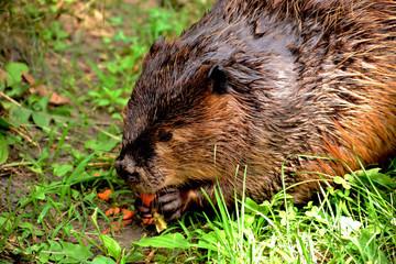 Closeup of a Beaver eating a carrot