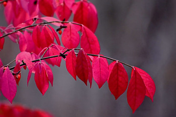 A branch full of red leaves in autumn