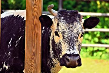 the Randal Lineback cow closeup showing it's unique markings,