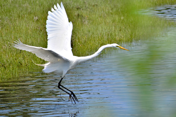 A White Heron landing on a pond in Newport Rhode Island.