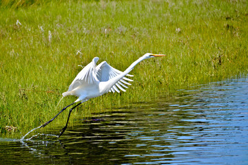 White Heron taking flight from a pond jn Newport, Rhode Island.