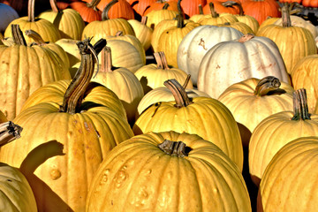 A harvest of yellow pumpkins with two white ones