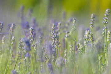 Keuken foto achterwand Lavendel Fleurs de lavande de l'île d'Orléans
