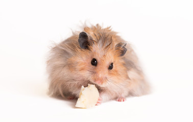 Hamster eating on a white background