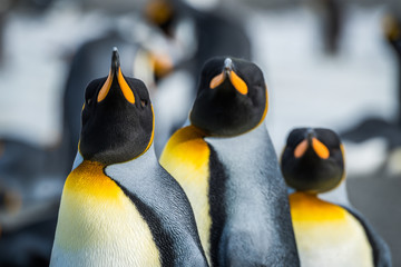 Fotobehang Pinguin Close-up of three king penguins looking ahead