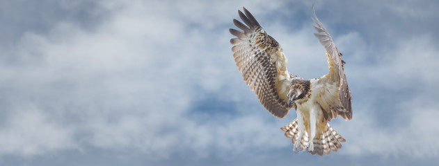 Osprey flying overhead searching for food. Sized to fit for cover image on popular social media site Fototapete