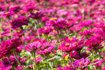 Poster Rose pink and purple cosmos flowers farm
