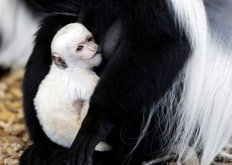 A guereza monkey holds a newborn baby at Prague Zoo in Czech Republic