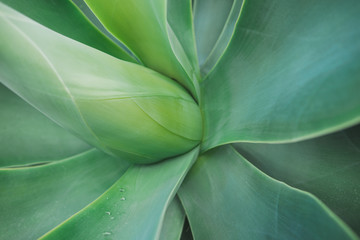 Poster Plant Aloe vera agave plant close up background