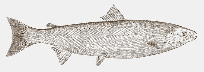 Atlantic salmon, salmo salar, a threatened fish from the northern atlantic in side view Fototapete