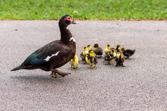A protected female Muscovy Duck known as a feral backyard or lake bird common to sub urban neighborhoods in South Florida with baby chicks being rescued by the local Coral Springs and Parkland Fire