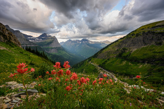 Indian Paintbrush Over Glacier National Park