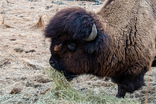 A bison standing in a meadow eating hay at the Lehigh Valley Zoo in PA