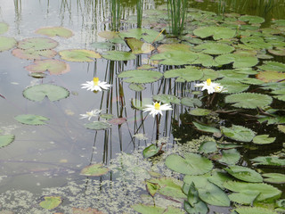 Foto op Plexiglas Waterlelies tropical white water lilies and leaves lying on the water