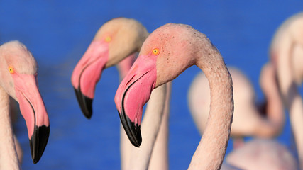 Poster - Detail of Group of flamingos is standing.