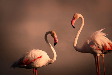 Poster - Two flamingos pink is standing in sunset