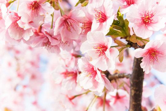 桜 2020 Feb