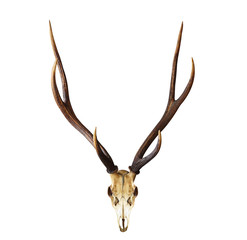 Poster Hert Skull of deer head with long horn antler isolated on white background with clipping path for design purpose