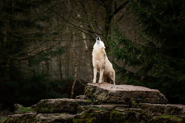 Howling of white wolf in the forest