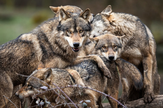 Family of grey wolf in the forest