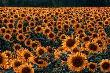 Beautiful scenery of sunflower fields