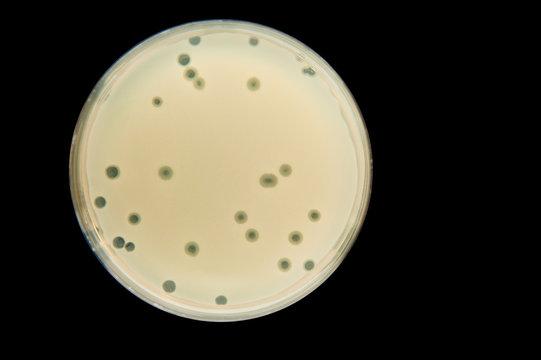 bacteriophage enumeration