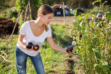 Fototapete - Young female gardener during harvesting of eggplants in garden