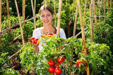 Fototapete - Young woman gardener picking harvest of fresh tomatoes