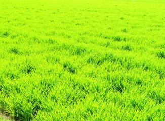 Foto op Plexiglas Zwavel geel 麦の芽吹き 春 日本の田舎