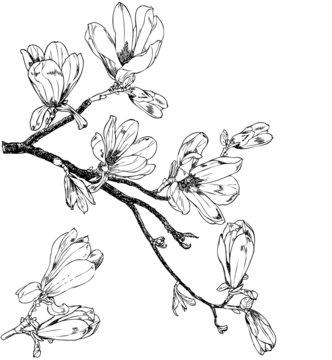 Magnolia branches - vintage engraving
