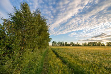Wall Mural - Scenic view of green field and forest belt at sunset in the background. Rural summer landscape. Beauty nature, agriculture and seasonal harvest time.