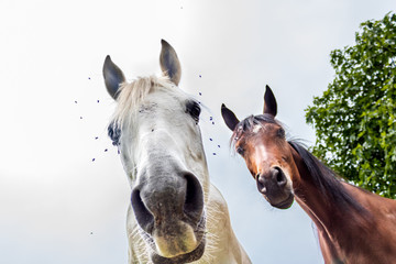 Autocollant pour porte Chevaux Two funny horses looking at camera in Catalonia