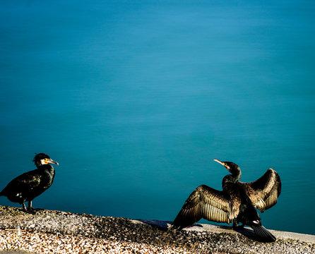 cormorants drying in the sun