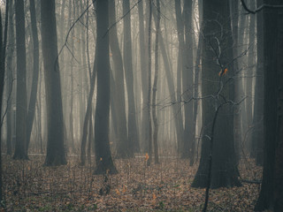 Autumn day in the enchanted forest at fall. Foggy forest with dark bare tree trunks and fallen foliage on the ground.
