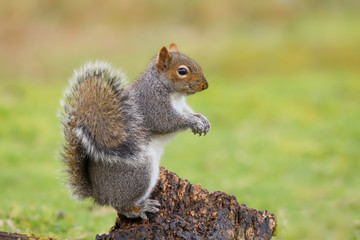 Grey squirrel (sciurus carolinensis) standing up on a tree stump