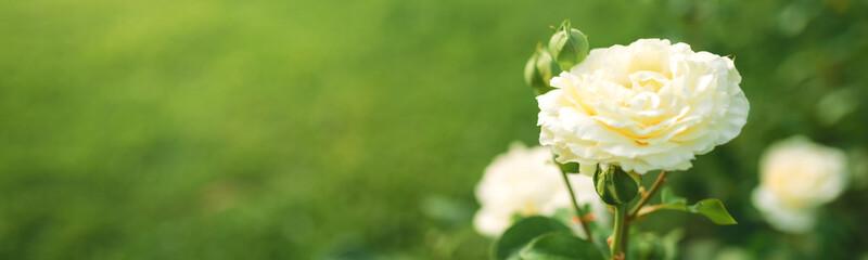 Wonderful white rose flower blooming on bush in the sunset garden
