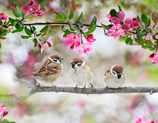Wall Mural - natural background with three funny birds sparrows sit on a branch of an Apple tree with pink flowers on a Sunny spring day