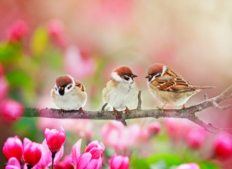 Wall Mural - natural background with three funny plump birds sparrows sit on a branch of an Apple tree with pink flowers on a Sunny spring day