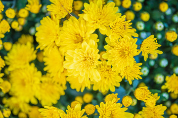 Wall Mural - yellow chrysanthemum flower close up background