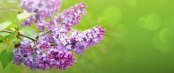 Photo sur Aluminium Lilac Branch with spring lilac flowers. Nature background.