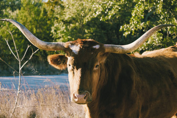 Wall Mural - Texas Longhorn cow looking for portrait on farm.