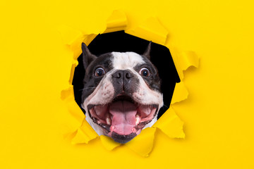 Papiers peints Bouledogue français Funny french bulldog looking from the hole of yellow box