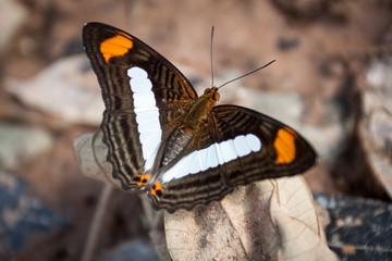 farbenfroher Schmetterling aus dem Dschungel Südamerikas Bolivien