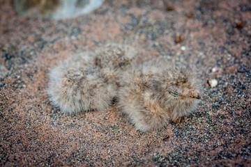 Kücken eines Falken in einem Nest versteckt im Sand