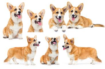 ginger welsh corgi puppy with tongue Fotobehang