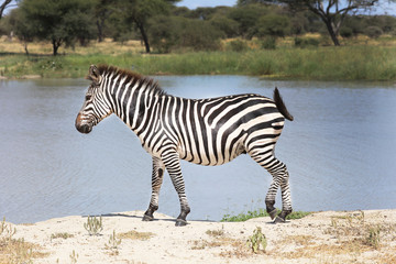 Printed roller blinds Zebra Zebra on the shore next to a lake in Africa